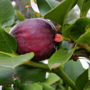 Natal Plum Fruit